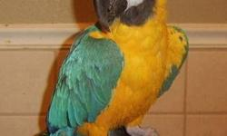 Macaw - Punky - Large - Adult - Male - Bird Punky is a blue & gold macaw. He was bought at a rummage sale in 2003.He lived in a dog kennel outside. He has a lot of personality. CHARACTERISTICS: Breed: Macaw Size: Large Petfinder ID: 22851499 CONTACT: