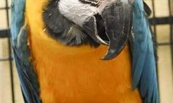 Macaw - Rosa - Medium - Adult - Female - Bird Playful and entertaining! How about a couple of beautiful Yellow Collared Macaws? They would love to find a home! Rio is the really outgoing one. Sweet and cute, he's got a little mischief in him, too. Rosa is