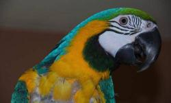 """Macaw - Tigger - Scarlet Macaw - Extra Large - Adult - Bird """"Hello, my name is Tigger! I'm a stunning Scarlet Macaw and I'm 20 years old. I've had a pretty good life, but now I need a new forever home! I love attention, being in the common area around"""