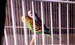 2 yr old macaw, very social and friendly. will come with cage. will be open to trade for a female eclectus. I do have pictures if you would like to see her.
