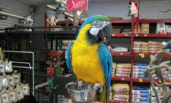 Macaw - Ziggy - Large - Adult - Male - Bird Ziggy is a 9 year old blue and Gold Macaw. Who will be up for adoption approx. March of 2009. He / she needs to go to a home that has handled Macaws. Does seem to prefer men. Please check out our website for