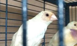 List of macaws available Calico female 3 years old $650 Blue and gold macaw $550 Proven breeding pair of goffin cockatoos $1150 Baby just hatched. Pair with baby that will need to be hand fed $1550