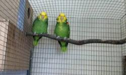Nice pair Magna Double Yellow Headed Amazon around 10-13 years old. They talk and sing alot. They are semi-tame. They had been feeding each other and working on the nest box. Male has a lot of yellow. If interested please text or call 571-250-6856. Thanks