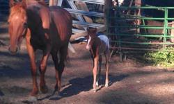 We are getting out of ponies. Large POA ponies (13 hands and up) Needs all training and green broke, Bloodlines include Toby, Siri chief, and many old ApHC, poa, and aqha bloodlines, registered $300-$800, unregistered $100-$500 1 years and up stallions
