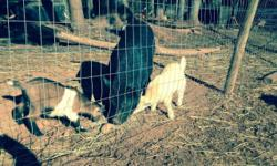 Intact male Potbellied pig Gilbert is ready for a new home, well mannered pig lives with goats and chickens, is around dogs and horses also. Don't have the space we thought for him.