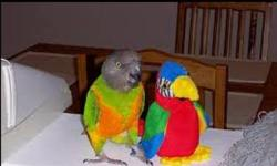 Rehome a male African Senegal parrot. About 4 - 5 years old. Semi-tame. Need some work to become a perfect pet. Ask for $250.00 for the bird only. Serious inquirers please! This ad was posted with the eBay Classifieds mobile app.