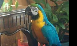 I have an 8 year old male (certified dna tested) Blue and Gold Macaw. I have had him for about 2 years. when I got him, he had not had the best of lives so I have been working with him and he is doing very well. He now knows aprox 20-30 words/phrases