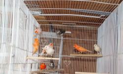 Male canaries ready to breed. Great singers! $55 all colors $75 Mosaics. Macho canarios listos pa la cria. Buen Cantadores. $55 varios colores $75 Mosaico.