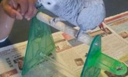 we have a 12+ yrs old male congo african grey rufus. not pet quality