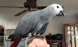 DNA sexed male Congo African Grey babies for sale. Two available that have just weened and are ready for a forever home. Hand raised, DNA sexed and closed banded. Both birds are exceptionally large (over 500g) and very sweet. I'm a private breeder with a