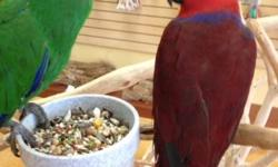 I have eclectus parrots. male is 5 years old Not tame, breeder bird Im selling him because my female didn't like him, she needs older male I'm asking $300 for male. He is not in perfect look because they were fighting with female, and that's why the price