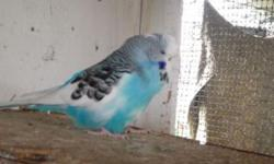 1 year old blue English budgie Selling Because Mate died in nest box due to spider bite This ad was posted with the eBay Classifieds mobile app.