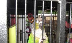 Iggy is a DNA Tested Male Green Cheek Conure. Loves to be out, but will bite if you reach through the bars of the cage. He knows his name and will say it. He LOVES to take baths in his water bowl. And he loves to listen to 94.9 Tom FM. Can come without