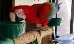 10 to 12 years old. Semi tame. Steps up to an arm and will take food from you. Would do well with an experienced macaw owner or breeder. Email with questions.