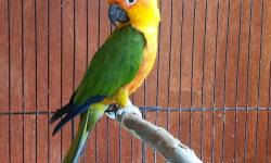 3 yrs old male jenday conure for sale (Not tame) good health and feather