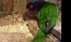 I have two male melanistic stella lorikeet, very healthy playful, beautiful colors, absolutely no defects, on nectar and fruit diet. There are only a handful breeder of these unique birds in the U.S. extremely rare to come by. Don't miss this chance. come