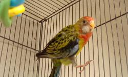 I am looking for a male Pale-headed Rosella that is over two years old. Please contact me to negotiate prices.