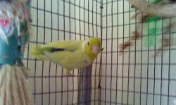 1 male parrotlet semi tame indoor bird starting to talk. Loves attention and people food. 15 months old. mom is albino/yellow and dad is turquoise.