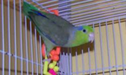 Male parrotlets available. 3 blue males 8 months - a year old. 1 american white male. 4 males parent raised, won't be ready for about 4 more weeks, blue and turquoise males. contact Linda at 607-336-2642