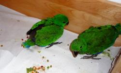We have 2 beautiful baby SI Eclectus- 1 sold & 1 is still available. (hatched 9/25.2012). Ekkies are hypoallergenic and one of the better talkers - a great companion with a laid back personality. We offer the best value around. You get: - a contract