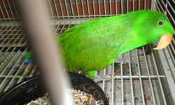 6 week old male eclectus.. still handfeeding. 500.00 you must be an experienced hand feeder to purchase him. will meet part way if you are not to far