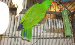 Male Solomon Island Eclectus .He is not friendly .$300 Cash Only.i have a small carrier cage that comes with him so buyer will not have to bring a cage with you,Not Banded, was told when i got him he was 8 and that was 2 years ago.he does seem large for a