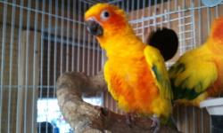 I have proven male sun conure 6 yrs old closed leg band high yellow likes to play out of the cage not tame best for breeding $225 or trade for lutino male IRN