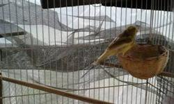 yellow male waterslager canary sing very good ask $80 yellow and little brown female waterslager start to nesting ask $70 if you are interesting you can email thank you