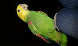6 yr old male Yellow Nape Amazon. Great talker. In great feather condition, Big boy. This bird is very young. He is in perfect age for breeding. comes with a nice cage. Needs some handling. Will sell for $600 with cage.
