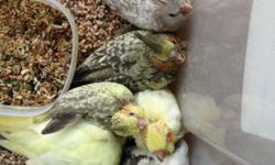 https://www.facebook.com/PoconoAna?ref=hl Update list of the babies: Sun conure babies: $350.00 taking deposits now (unweaned) GCC conure: $150.00, not tame, 6 months old. Sun conure: $275.00 not tame, 4 years old, female Scarlett Macaw Babies: $1700.00