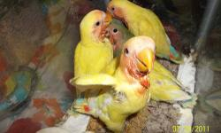 I have at least 12 new baby lovebirds in the nests at this time. There will be yellows, blues, greens , etc. I have not taken them yet to begin their hand feeding .In addition I have 3 blue peach faced babies almost weaned, and 3 fischers lovebird babies