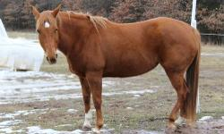10 year old mare. She is half quarter horse and half something gaited. She is an easy catch and good with the ferrier. She loves attention. I would not recommend her for small children that are beginners. She is an easy keeper. She will neck reign or foot