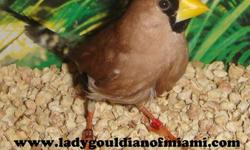 I have four mask grass finch, 3 females and 1 male, they are ready to breed. $70.00 each Tengo 4 mask grass finch,3 hembras y 1 macho,estan listos para criar $70.00 c/u We Ship : USPS,DELTA and UNITED . USPS $69.99 (second day arrive after shipping) Delta