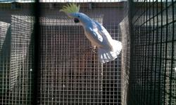 Proven male Maximilian Pionus *perfect feather *cage included in sale price In great health, ready for a mate! Please call for more info 530-409-7484 Reminder: This is not a pet... he is a breeder.