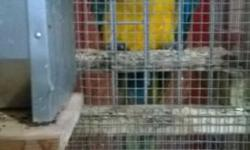 FOR SALE BLUE AND GOLD McCall BIRDS 6 AND 7 YEARS OLD BREEDER BIRDS $800.00 each or the Pair for $1200.00. Contact me by phone calls only 662-213-6891 or 662-842-7436.