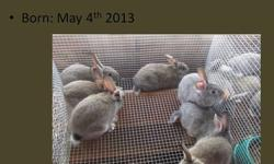 19 Chinchilla-mix 5-8weeks old and 4 Saint-mix (not shown) 5weeks old $8each ~Discount for multiple buy~ Can meet: Japton/Huntsville/Wesley/Elkins Bunnies are unsexed.