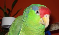 MALE- HATCH DATE 04/28/06 BEAUTIFUL COLORS. CAGE INCLUDED. I WILL NOT SHIP. LOCATED IN BOCA RATON, FL