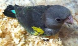 Meyer's parrot. I have both male and female. Calls only. Each $350.00 818-917-5396