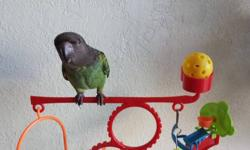 Beautiful, sweet personality Meyers parrot, just weaned in August. Loves being scratched on the head, wants nothing more than to be with people: Will sit on your shoulder all day long if you allow. Because of its' gorgeous color we named this sweet baby