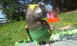 6 year old Meyers parrot. Quiet, loving, and calm. Does not scream. Loves scratches and to be held. I have a large family and she has chosen me as her person which would be fine except she lunges for anyone else that comes near her. With me she is a