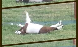MGR registered Fainting Goats (as seen on Youtube!). 2 Doelings and 1 Buckling born spring 2013. 1 Doeling Red/White with blue eyes, medium size $350.00 1 Doeling Gray/White with marbled blue eyes, medium size $350.00 1 Buckling Dark Gray/White with