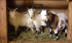 We are having a BOGO Easter Sale on our Myotonic ( Fainting ) goats ! You can goolge our web site for more detailed information at - cainsfancyfainters.com , we have 5 reg. Bucks , 3 reg. Does and 9 registrable young Bucklings , we can band the young ones