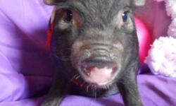 This little girl is black with four tiny white socks. She was born May 7, 2014. She will be small about the size of a cocker spaniel when grown. For more information contact Kaye Andre per contact info listed.