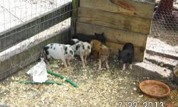 I have 5 micro mini pigs I am selling.. I have 3 micro mini's 7 weeks old ready to go.. They will not get bigger the 25-35 lbs parents are here for you the see Pig are very smart ,and easy to train to go potty in a litter box and or to go out doors. Pigs