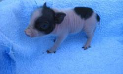 We have new babies! For sale are 3 Micro Mini teacup Piglets.White and black markings and all have BLUE EYES!! They are TRUE Mini Pigs! The parents are both less than 20lbs. The parents are so sweet and Tame. They are our pets. Parents pictures available,
