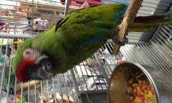 I have this female military macaw she has dna certificate she is 2 year old only had one owner her whole life she is tame with the people she knows is a quiet macaw doesnt make noise can live with other bird too she is very healthy and perfect feather