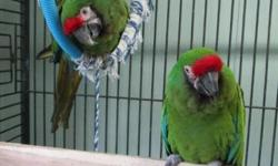 We have a pair of Military Macaws who were put together around 2 years ago. They do not have a nest box set up, but the female has laid eggs. They are bonded and the male is micro chipped.Must sell in the next two weeks.Trades