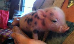 I have a beautiful litter of mini pigs for sale . 4 males currently not on deposit . they will be ready for easter. I will hold with a small deposit. please see pics. price is $500.00 cash