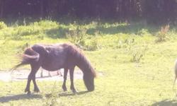 I have a mini horse for sale. She's black in color. Halter broke but that's about all I know about her. She walks a lil stiff in the back legs from time to time but always has. The man I got her from said her mother tends to do the same thing. She may