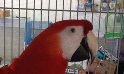 Arrieros Pet Shop has this TAME quality bird with nice beautiful feathers.. Call or visit us at : 9531 Jamacha Blvd. SpringValley, Ca 91977 or call 619-434-3207